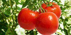 Mangiare Pomodori Fa Bene