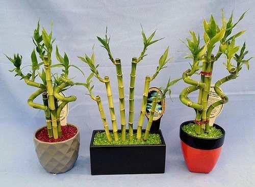 Come Coltivare Canne Di Bambù In Casa